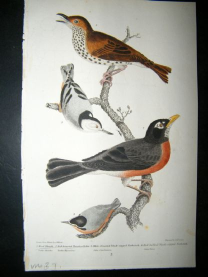Alexander Wilson 1832 Hand Col Bird Print. Wood Thrush, Red Breasted Thrush or Robin | Albion Prints
